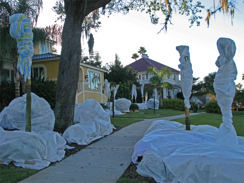 wrapping palm trees for winter protection pictures to pin. Black Bedroom Furniture Sets. Home Design Ideas